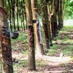 A rubber tree plantation with rows of tapped rubber trees. The natural latex sap is being collected from some of the trees.